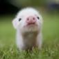小白猪坚强