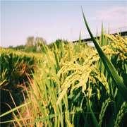 和我一起到乡下的稻田走一走-喜马拉雅fm