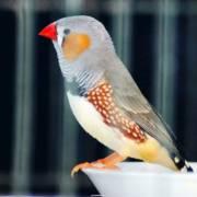珍珠鸟,放在一个简易的竹条编成的笼子里,笼内还有一卷干草,那是小鸟