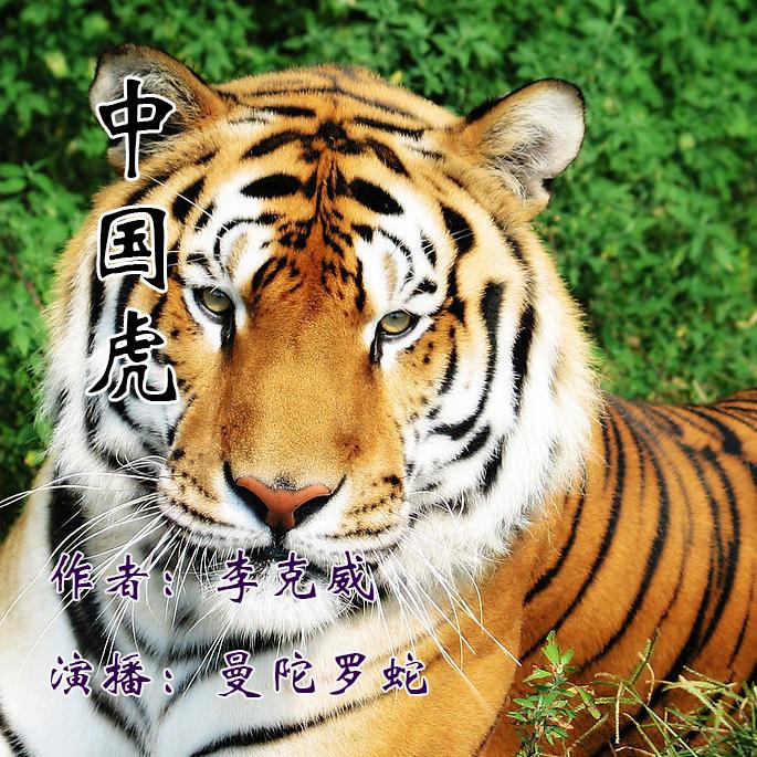 中国虎|华南虎野外求生记听书网
